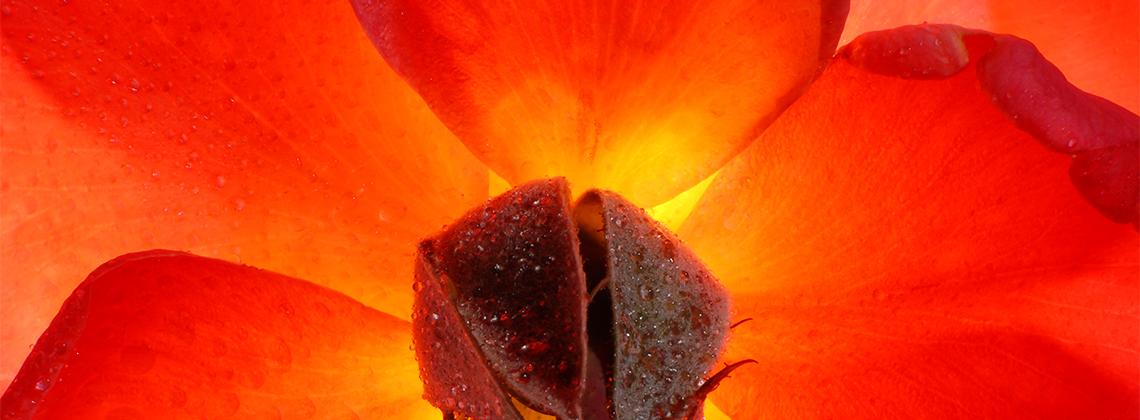 Rose Hero Image