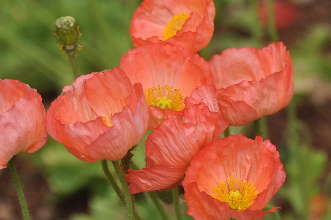 Poppy Specialties Header